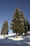 Firs in the snow Royalty Free Stock Photography