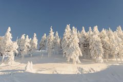 Firs in Snow Stock Photography