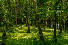 Firs in swamp of sunny summer Royalty Free Stock Image