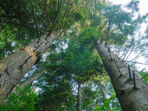 Firs trees up look. Firs up look to the top Royalty Free Stock Photos