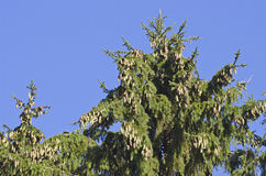Firs treetop with cones on sky background Stock Image