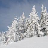 Firs  under snow Stock Photos