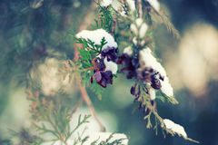 Firs under snow Royalty Free Stock Image
