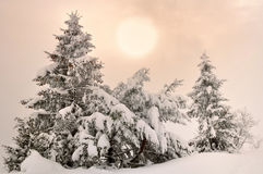 Firs under snow. At twilight stock photo