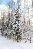 Firs under snow. Royalty Free Stock Image