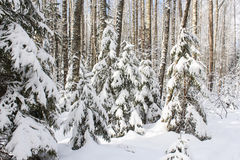 Firs under snow. Stock Image
