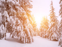 Firs in winter forest Stock Image