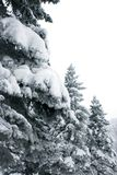 Firs in winter park. A vertical picture Stock Photo