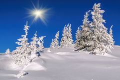 Firs, winter, sky Royalty Free Stock Images