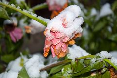 The first abnormal snow and flowers in the snow Royalty Free Stock Photo