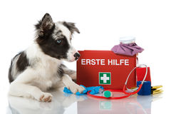 First aid. Young Border Collie with First aid kit Royalty Free Stock Photo