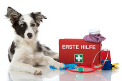 First aid. Young Border Collie with First aid kit Stock Photography