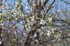 First almond blossom Stock Photography