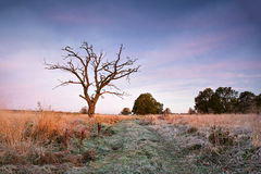 First autumn frosts. Old oak snag on the meadow Royalty Free Stock Images