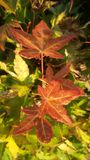 First autumn leaves Royalty Free Stock Photo