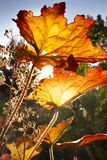 First autumn leaves on a september day. Shining in orange and red from the sun royalty free stock photo