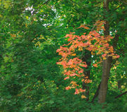 The first autumn maple twig among the green leaves. Photo took  in the vicinities of Moscow, Russia , photo is usable on picture post card, calendar, gardening Royalty Free Stock Photo