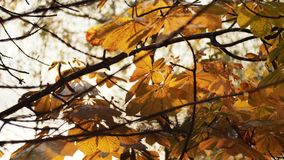 First autumn snowfall. Snow is falling on autumn golden trees and sparkle in sun. Falling leaves.  stock footage