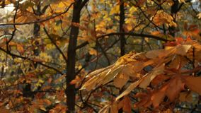 First autumn snowfall. Snow is falling on autumn golden trees and sparkle in sun. Falling leaves.  stock video footage