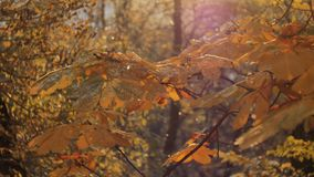 First autumn snowfall. Snow is falling on autumn golden trees and sparkle in sun. Falling leaves.  stock video