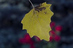 The first autumn yellow leaf on the background of trees and roses. Dark background and red roses stock photo