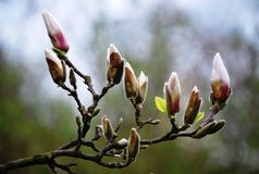 The first beautiful signs of spring - flowers of magnolia Royalty Free Stock Photo