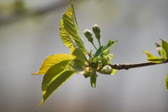 The first beautiful signs of spring - little buds and leaves. A bud is an undeveloped or embryonic shoot and normally occurs in the axil of a leaf or at the tip royalty free stock image