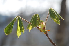The first beautiful signs of spring - little buds and leaves. A bud is an undeveloped or embryonic shoot and normally occurs in the axil of a leaf or at the tip royalty free stock photography