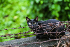 First blind black cat on barbed wire. Stock Photography
