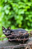First blind black cat on barbed wire. Royalty Free Stock Images