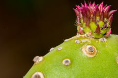 First Bloom of Prickly Pear Cactus Royalty Free Stock Photography