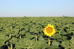 Summer background - first blooming sunflower. Summer background - the first blooming sunflower in the field with morning sky royalty free stock images