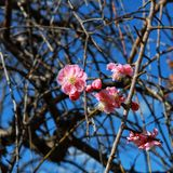 First blooms of 2017 in Fukuoka Japan. Sakura blooms and spring is near Stock Photo