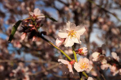 First blossom of spring Stock Image