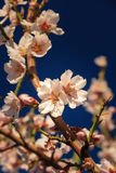 First blossom of spring Stock Images