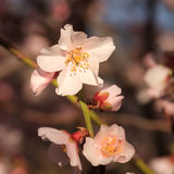 First blossom of spring Royalty Free Stock Photo