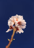 First blossom of spring Royalty Free Stock Photography