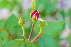 First blossom of the spring on a miniature red rose bush stock image