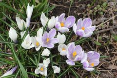 The first blossoming crocuses in the spring Stock Photo