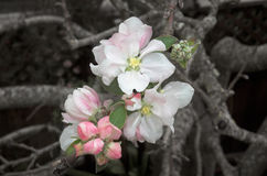 First Blossoms. Closeup of the first apple blossoms of Spring royalty free stock photography