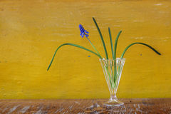 First blue muscari primrose flower in a glass on vibrant yellow Stock Photos