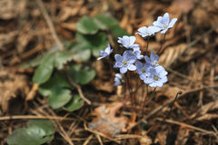 First blue spring flowers in the forest. Primrose snowdrops on the leaves. Hepatica Nobilis. Royalty Free Stock Photo