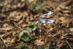 First blue spring flowers in the forest. Primrose snowdrops on the leaves. Hepatica Nobilis. Stock Images