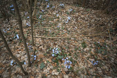 First blue spring flowers in the forest. Primrose snowdrops on the leaves. Hepatica Nobilis. Royalty Free Stock Photos