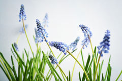 First blue spring flowers Royalty Free Stock Images