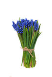 First blue springs flowers bouquet Muscari isolated on white background Stock Image