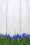 First blue springs flowers Muscari border on wooden table background Royalty Free Stock Photography