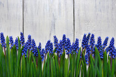 First blue springs flowers Muscari border on wooden table background. First blue springs flowers Muscari border on white wooden table background with copy space royalty free stock image