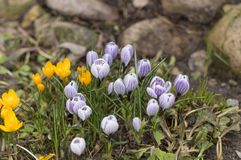 The first spring flowers on the background of earth and stones royalty free stock photography