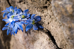 First bluebell flowers are in the crevice of a large stone Royalty Free Stock Photo